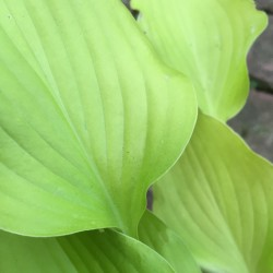Close-up Picture of Hosta Lakeside Waterfall leaves