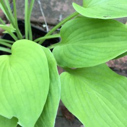Close-up Picture of Hosta Lakeside Lime Time leaves