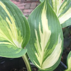 Close-up Picture of Hosta Lakeside Paisley Print leaves