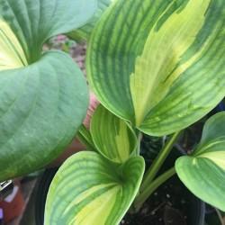 Close-up Picture of Hosta Dreamweaver sample plant
