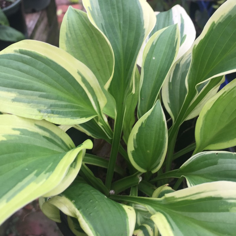 Picture of mature Hosta Winter Warrior plant