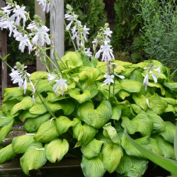Picture of mature Hosta Guacamole plant