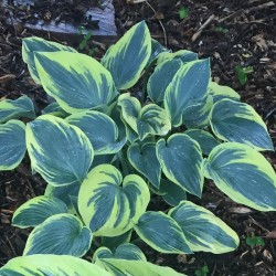 Picture of mature Hosta First Frost plant