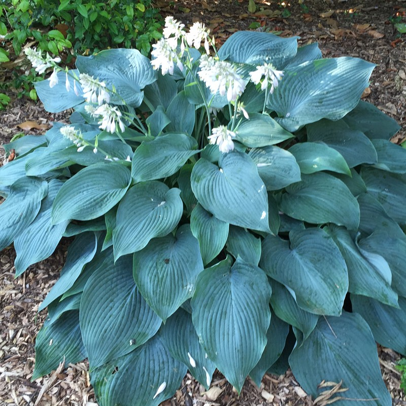 Picture of mature Hosta Blue Angel plant