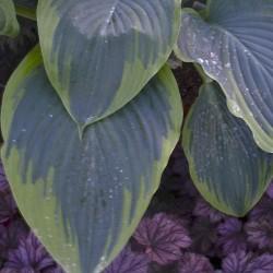 Close-up Picture of mature Hosta Wu-La-La leaves