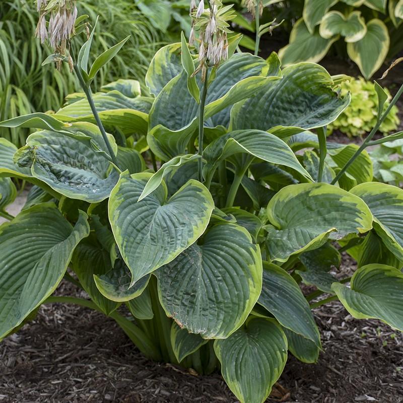 Picture of mature Hosta Wu-La-La plant