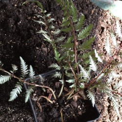 Picture of sample fern plant