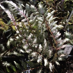 Picture of fern foliage