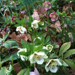 Picture of Mature Helleborus Plants flowering in our garden