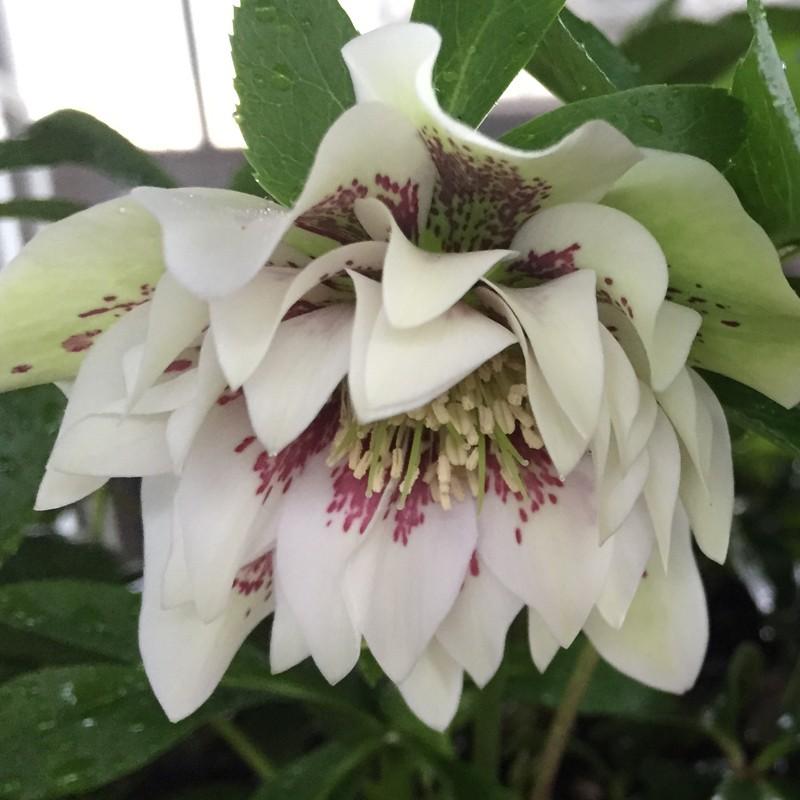 Picture of Helleborus Confetti Cake Flowers
