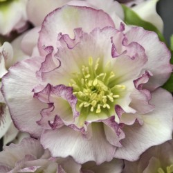 Picture of Helleborus Flower Girl Flowers at Walters Gardens