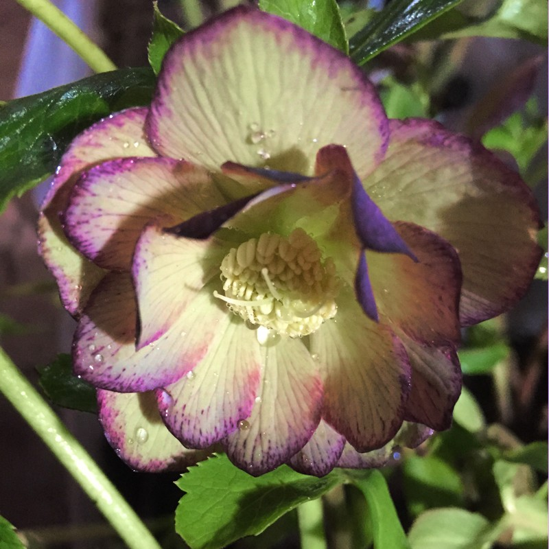 Picture of Helleborus Blushing Bridesmaid Flowers in our garden