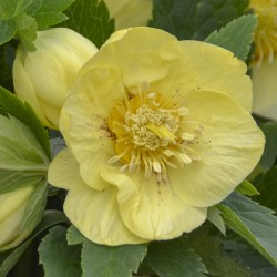 Picture of Helleborus California Dreaming Flowers from Walters Gardens