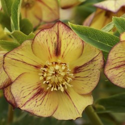 Picture of Helleborus Tropical Sunset Flower from Walters Gardens