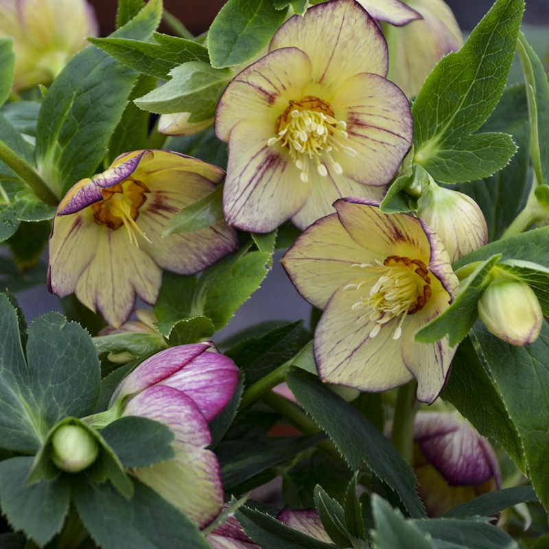 Picture of Helleborus Tropical Sunset Flowers from Walters Gardens