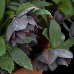 Picture of Helleborus Dashing Groomsmen Flowers from Walters Gardens