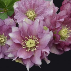 Picture of Helleborus Maid of Honor Flowers at Walters Gardens
