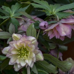 Picture of Helleborus Mother of the Bride Flowers at Walters Gardens