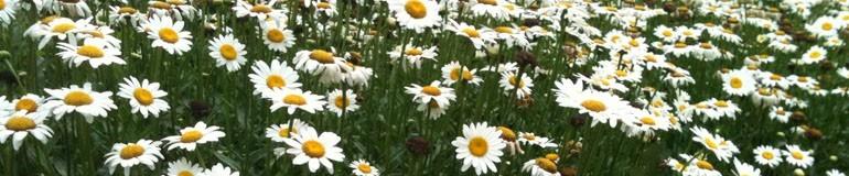Echinacea - Rudbeckia - Daisies
