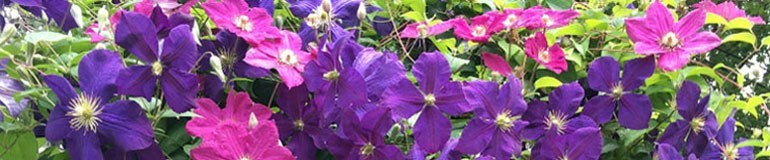 Green Thumbs Galore - Clematis