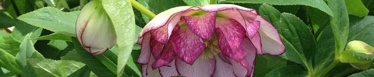 Helleborus - Lenten Roses
