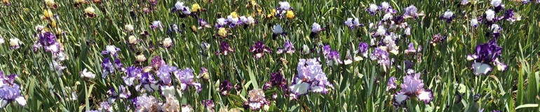 Green Thumbs Galore - Iris